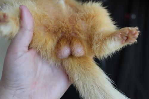 Furet albinos